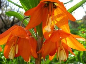 5 Сиома цветок рябчик